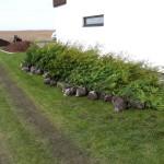 Elupuu heki istutamine taimed